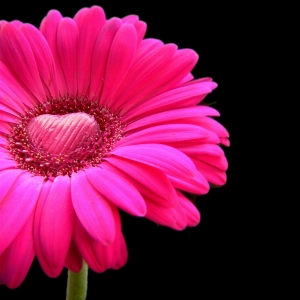 happy-valentines-day-pink-gerbera-with-a-heart-of-chocolate-1