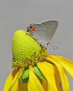 gray-hairstreak-on-giant-coneflower