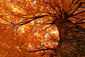 yellow-tree-13