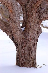 dogwood_trunk_Cornus_florida